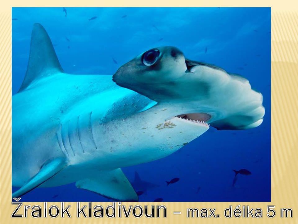 Žralok kladivoun – max. délka 5 m
