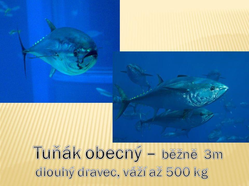 Tuňák obecný – běžně 3m dlouhý dravec, váží až 500 kg