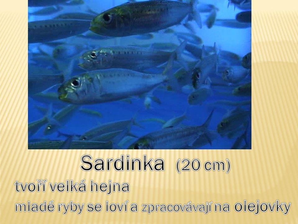 Sardinka (20 cm) tvoří velká hejna
