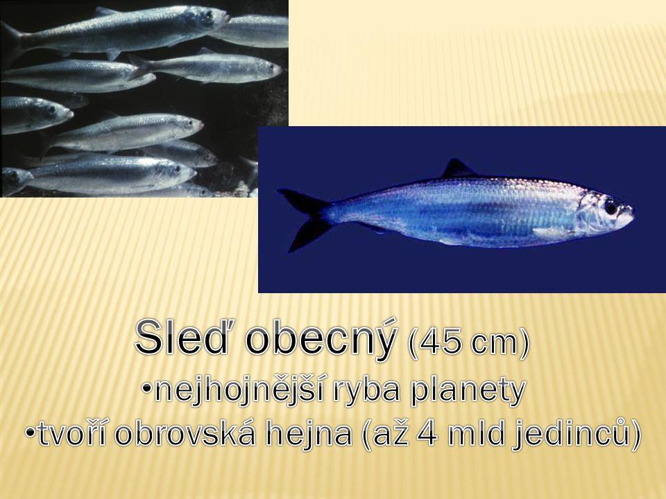 nejhojnější ryba planety tvoří obrovská hejna (až 4 mld jedinců)