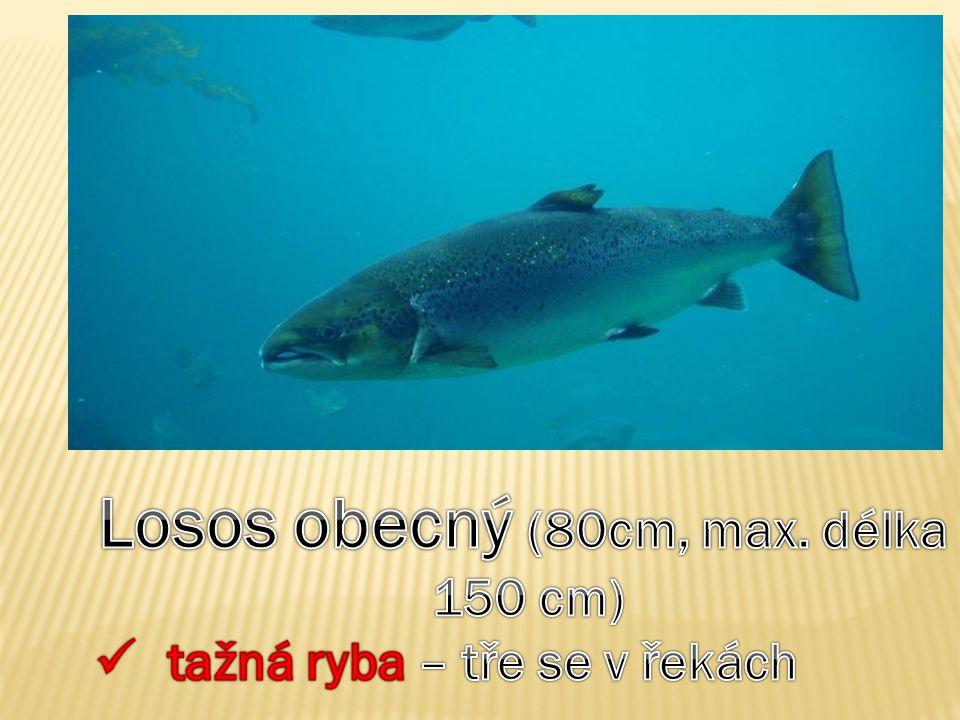 Losos obecný (80cm, max. délka