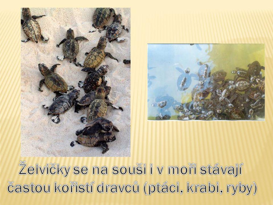 Želvičky se na souši i v moři stávají