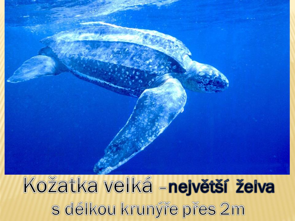 Kožatka velká –největší želva