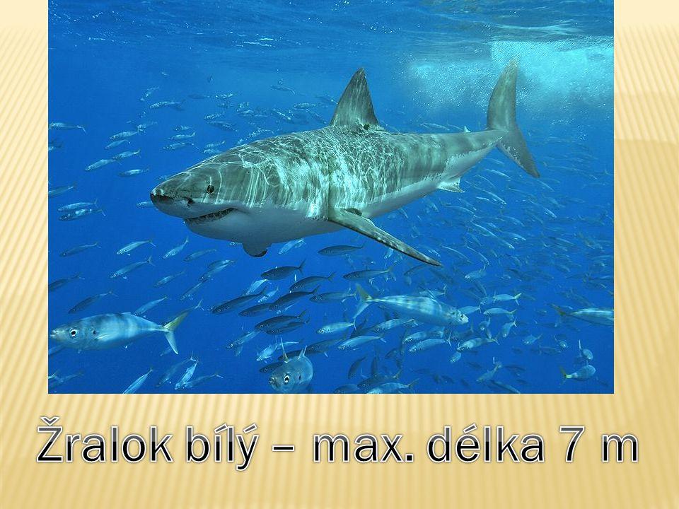 Žralok bílý – max. délka 7 m