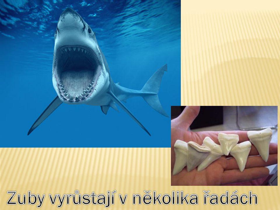 Zuby vyrůstají v několika řadách