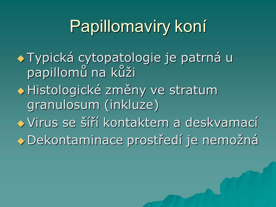 Papillomaviry koní Typická cytopatologie je patrná u papillomů na kůži
