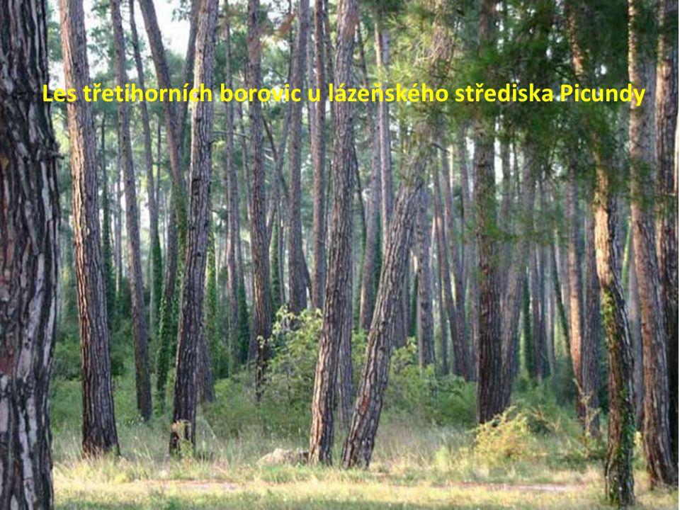 Les třetihorních borovic u lázeňského střediska Picundy