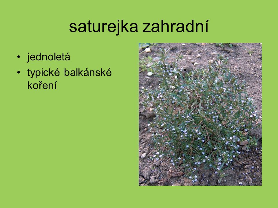 saturejka zahradní jednoletá typické balkánské koření