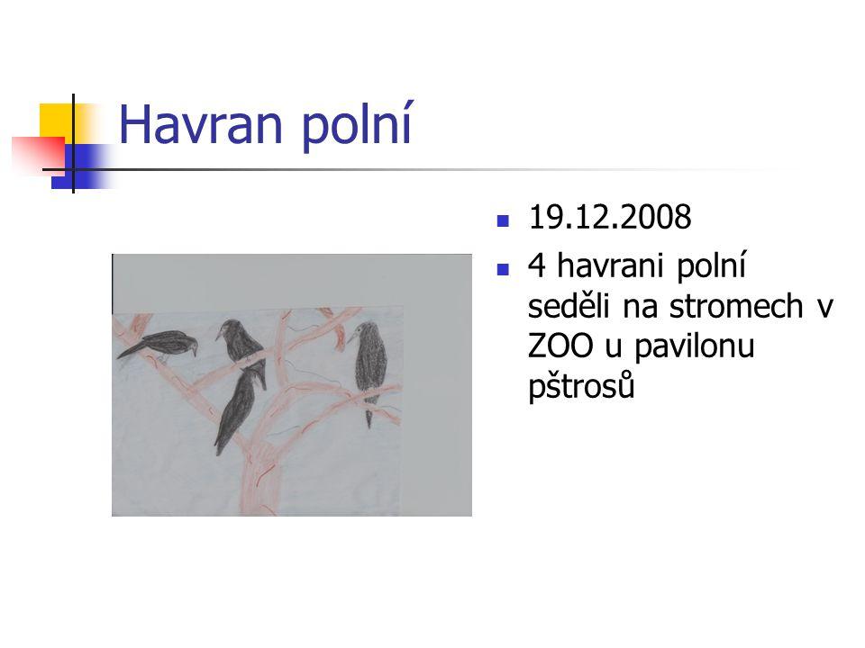 Havran polní 19.12.2008 4 havrani polní seděli na stromech v ZOO u pavilonu pštrosů