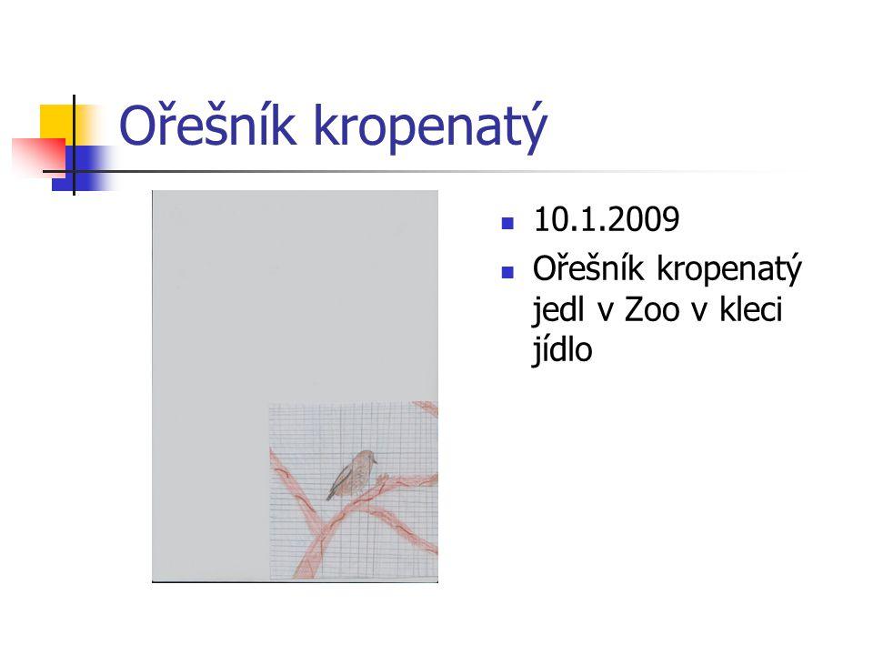 Ořešník kropenatý 10.1.2009 Ořešník kropenatý jedl v Zoo v kleci jídlo