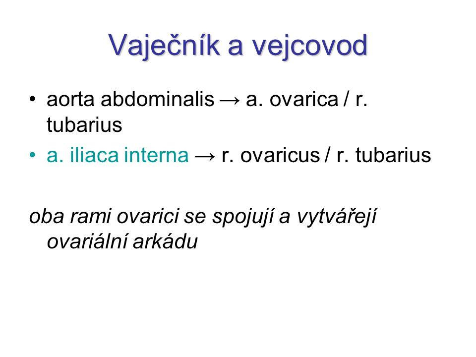 Vaječník a vejcovod aorta abdominalis → a. ovarica / r. tubarius