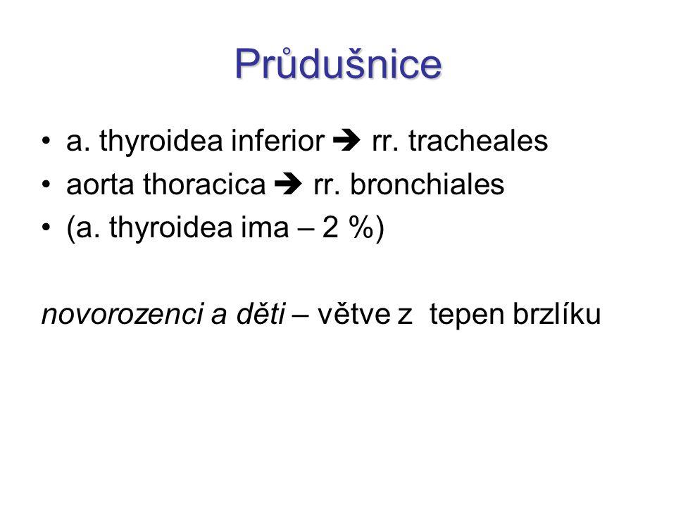 Průdušnice a. thyroidea inferior  rr. tracheales