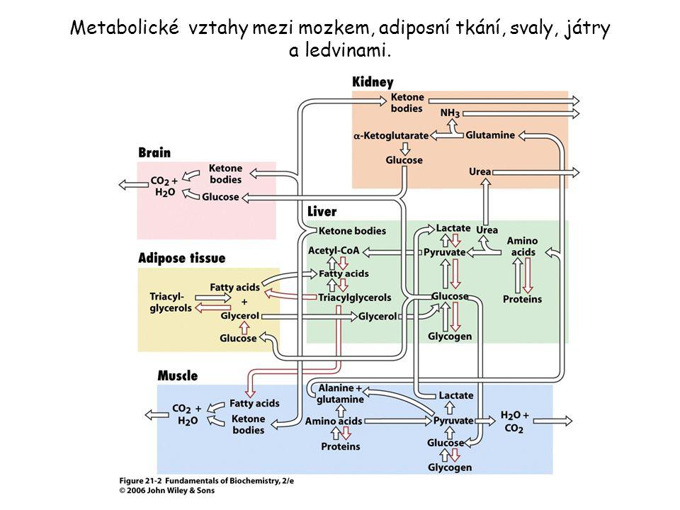 Metabolické vztahy mezi mozkem, adiposní tkání, svaly, játry a ledvinami.