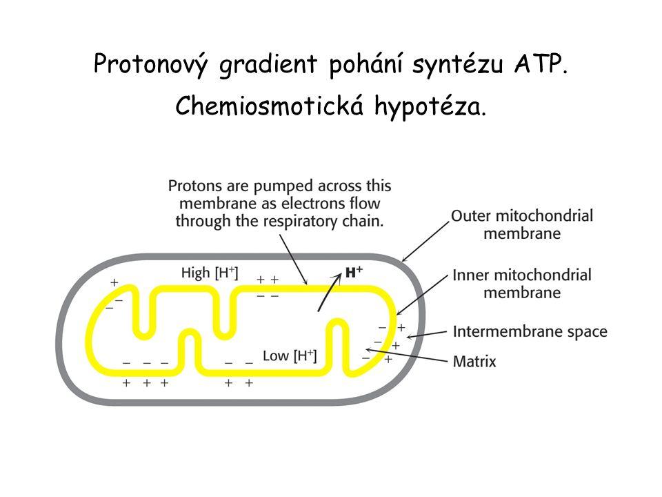 Protonový gradient pohání syntézu ATP. Chemiosmotická hypotéza.