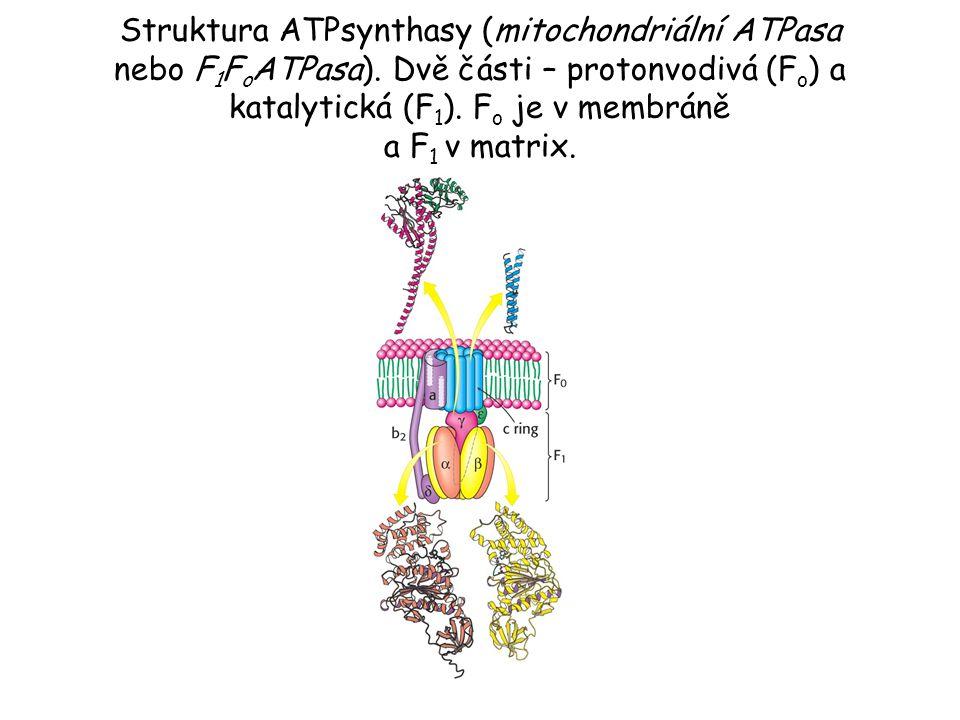 Struktura ATPsynthasy (mitochondriální ATPasa nebo F1FoATPasa)
