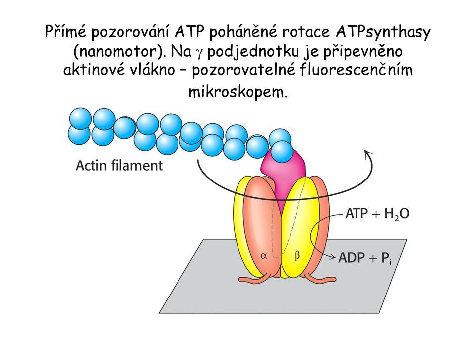 Přímé pozorování ATP poháněné rotace ATPsynthasy (nanomotor)