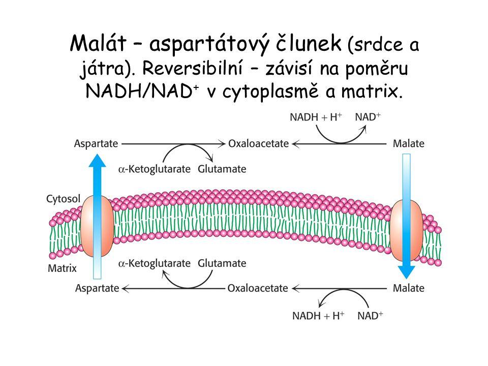 Malát – aspartátový člunek (srdce a játra)