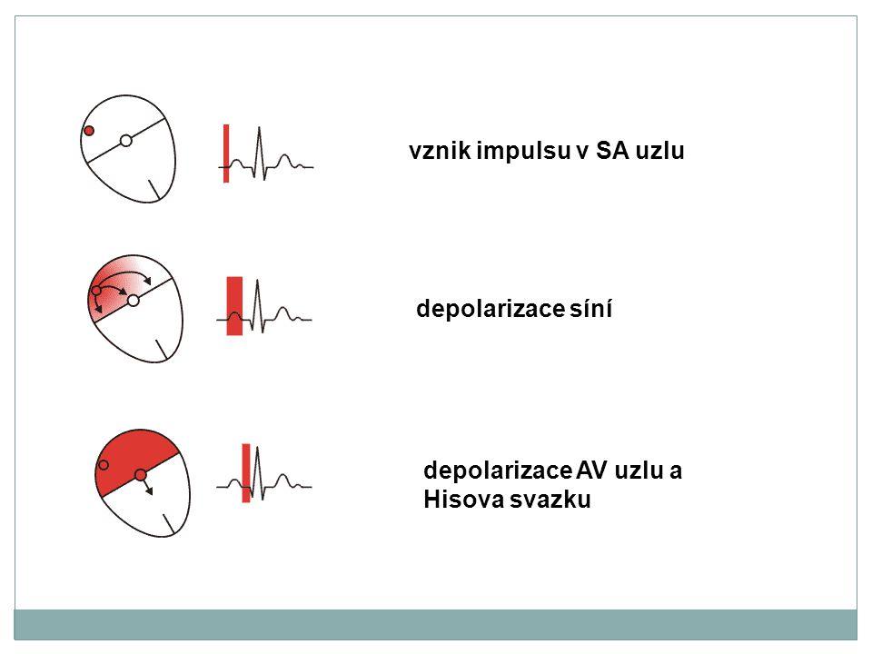 vznik impulsu v SA uzlu depolarizace síní depolarizace AV uzlu a Hisova svazku