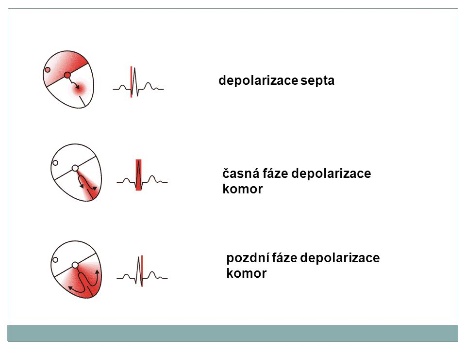 depolarizace septa časná fáze depolarizace komor pozdní fáze depolarizace komor