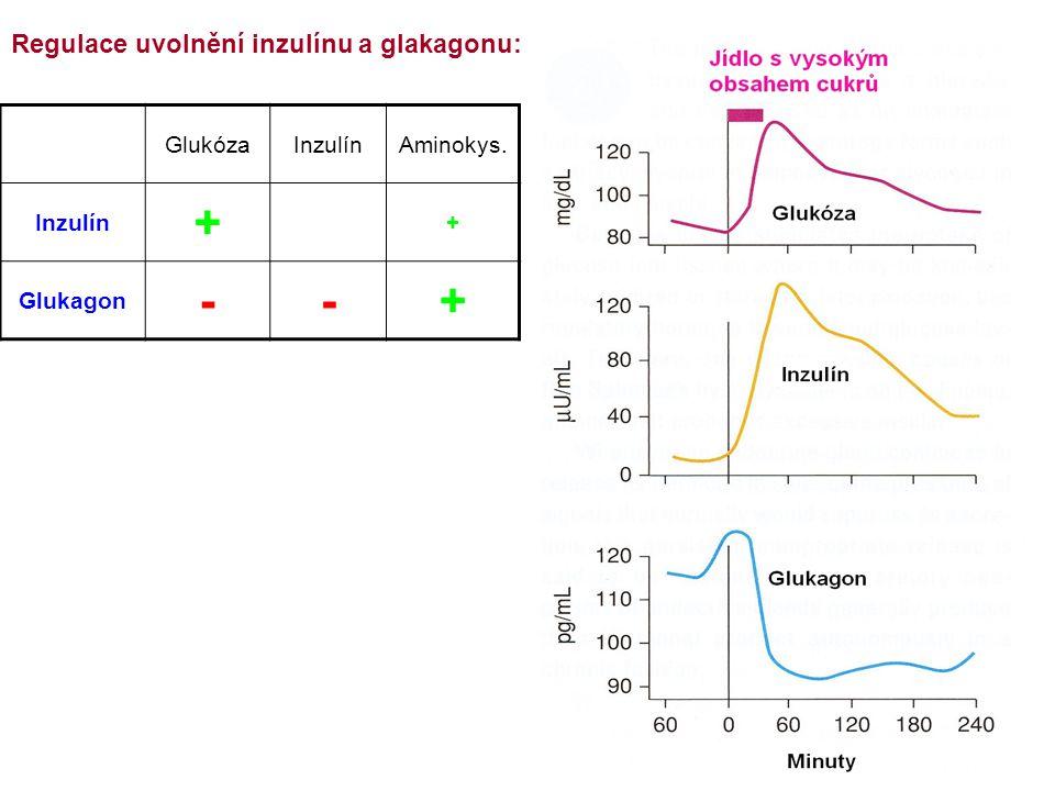+ - Regulace uvolnění inzulínu a glakagonu: Glukóza Inzulín Aminokys.