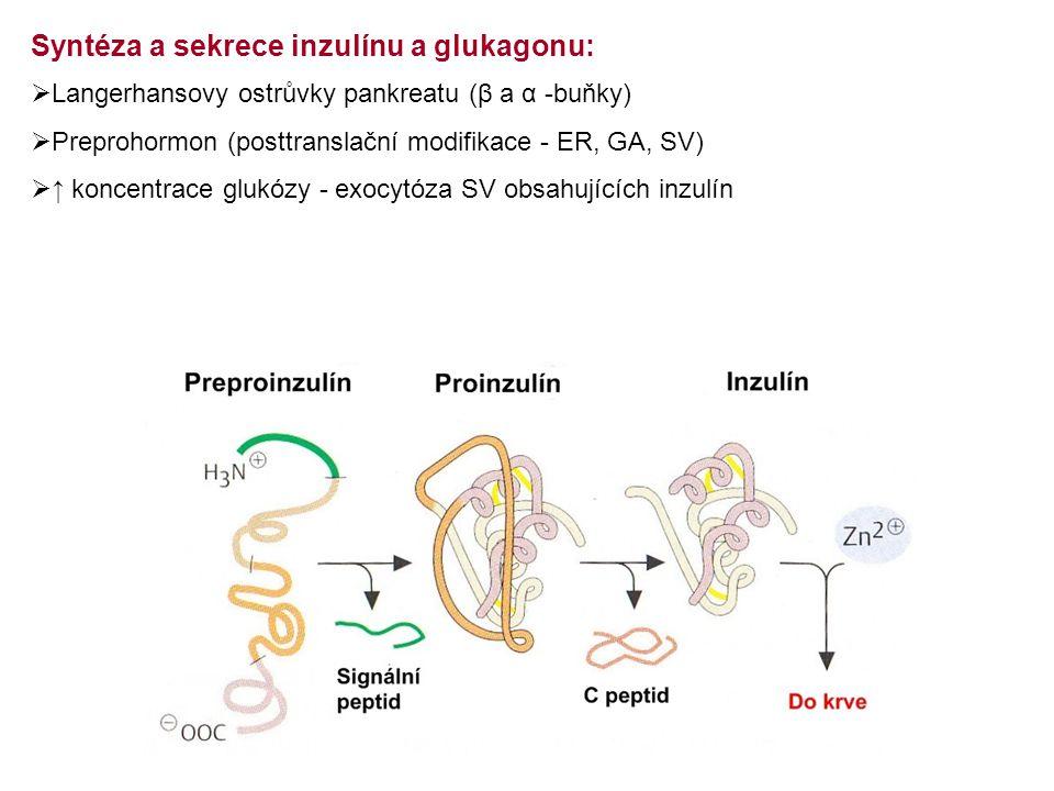Syntéza a sekrece inzulínu a glukagonu: