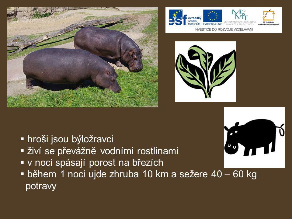 hroši jsou býložravci živí se převážně vodními rostlinami. v noci spásají porost na březích. během 1 noci ujde zhruba 10 km a sežere 40 – 60 kg.