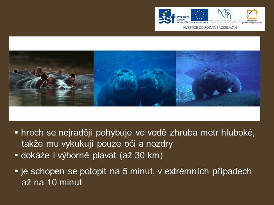 hroch se nejraději pohybuje ve vodě zhruba metr hluboké,