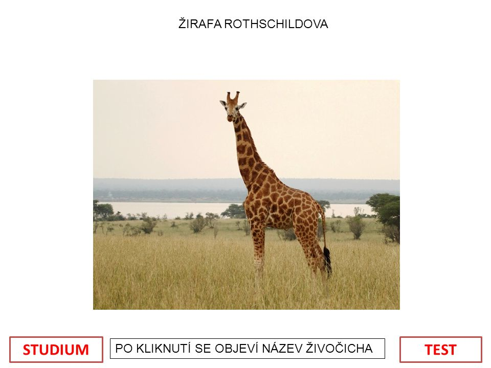 STUDIUM TEST ŽIRAFA ROTHSCHILDOVA