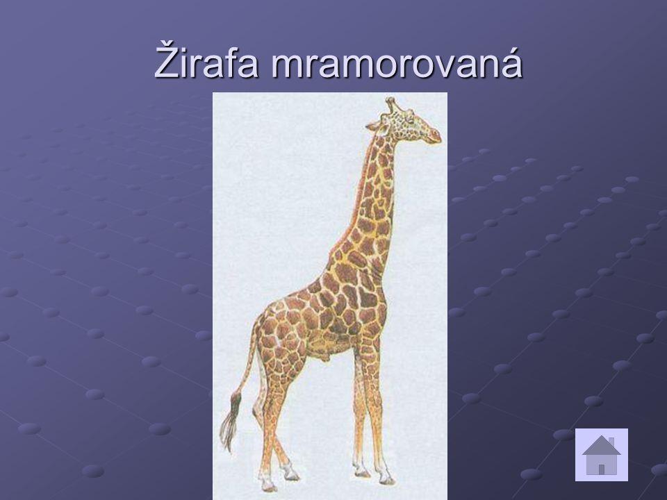 Žirafa mramorovaná