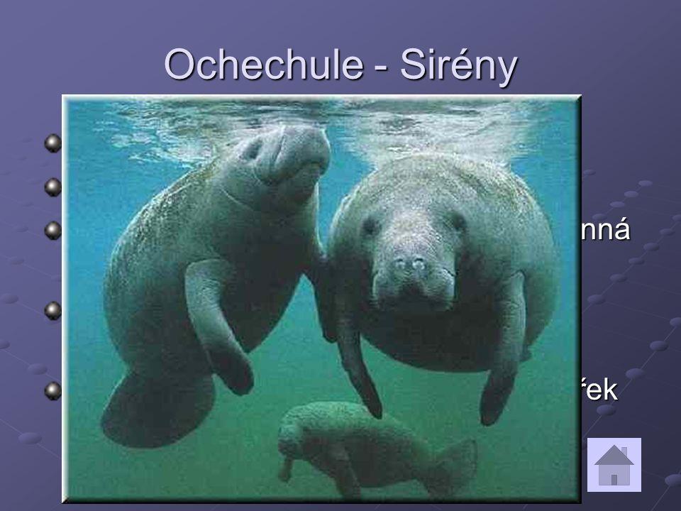 Ochechule - Sirény Příbuzné chobotnatcům a damanům