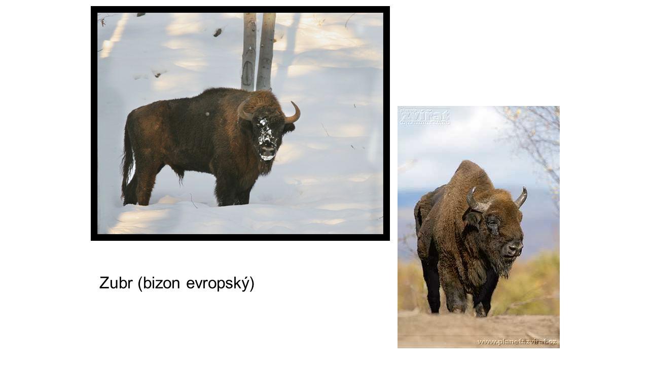 Zubr (bizon evropský)