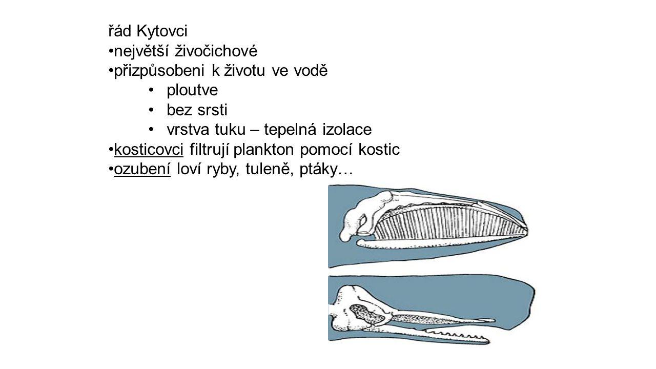 řád Kytovci největší živočichové. přizpůsobeni k životu ve vodě. ploutve. bez srsti. vrstva tuku – tepelná izolace.