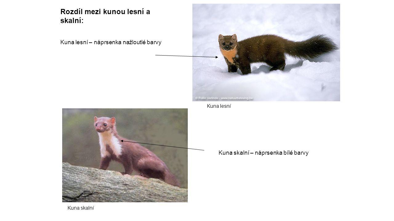 Rozdíl mezi kunou lesní a skalní: