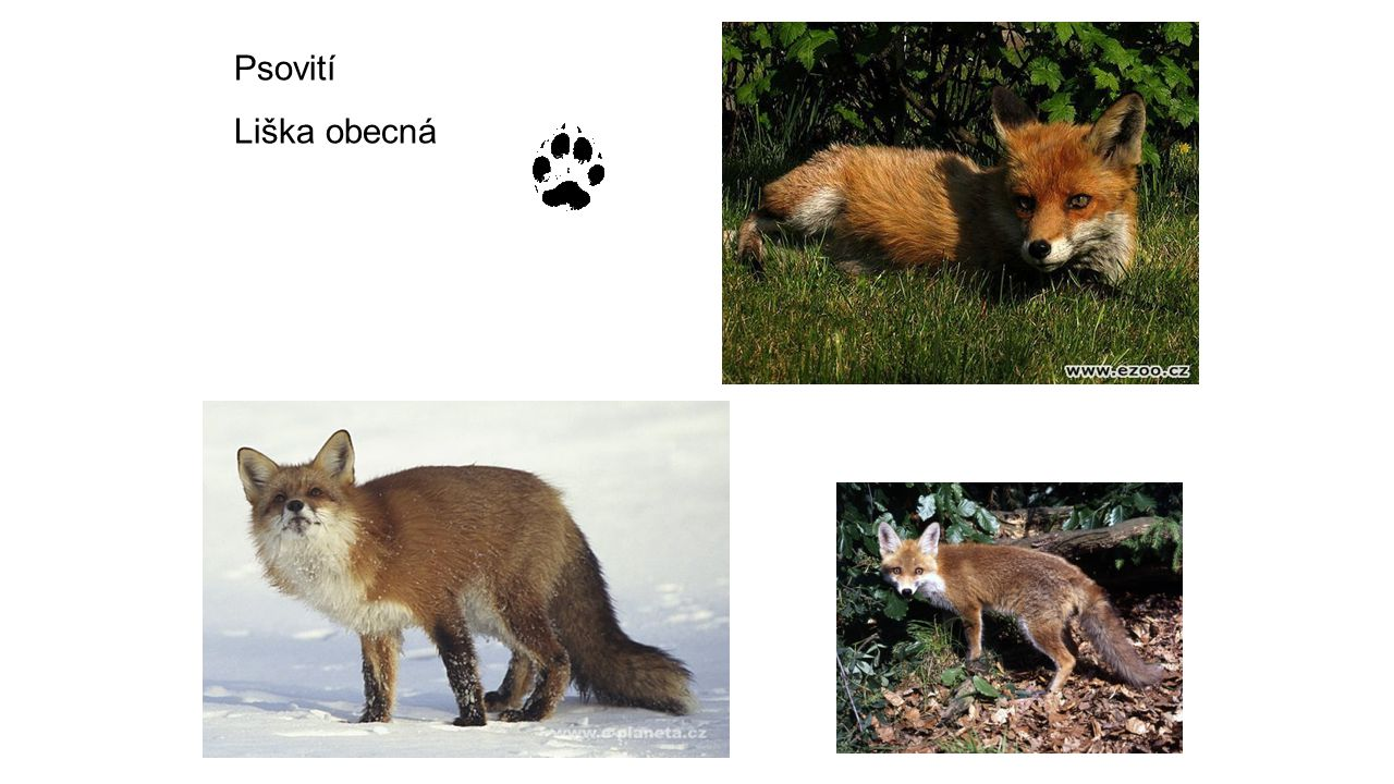 Psovití Liška obecná