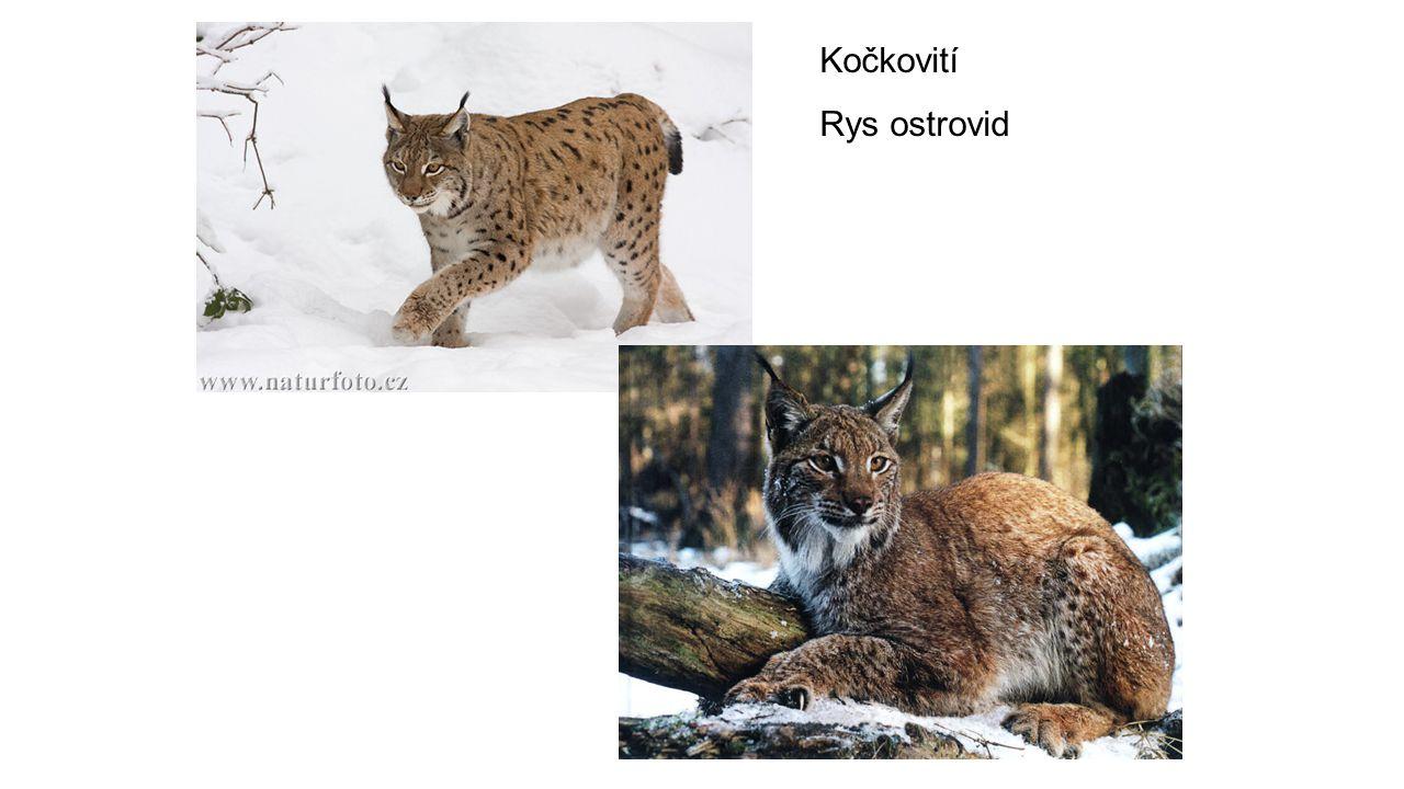 Kočkovití Rys ostrovid