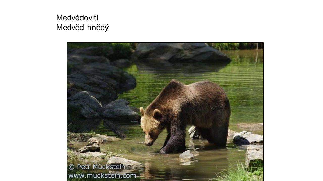 Medvědovití Medvěd hnědý