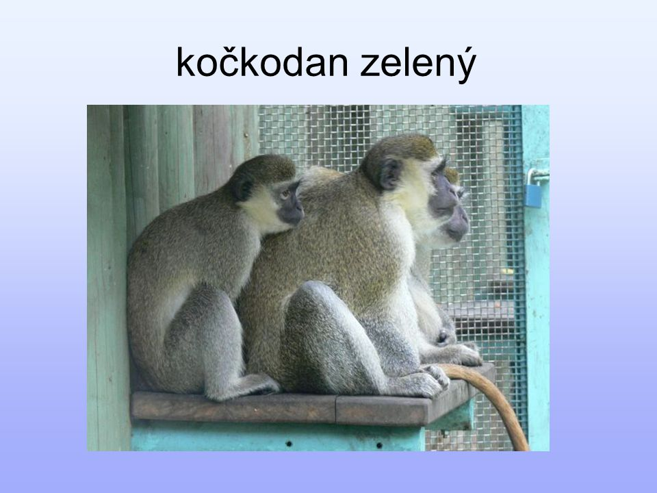 kočkodan zelený