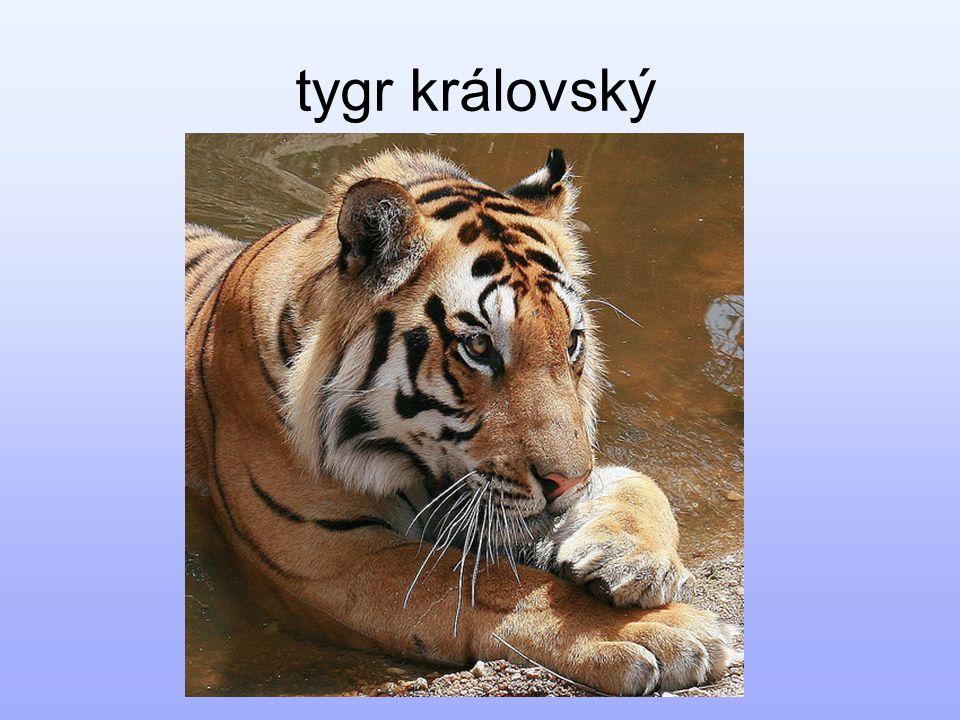 tygr královský