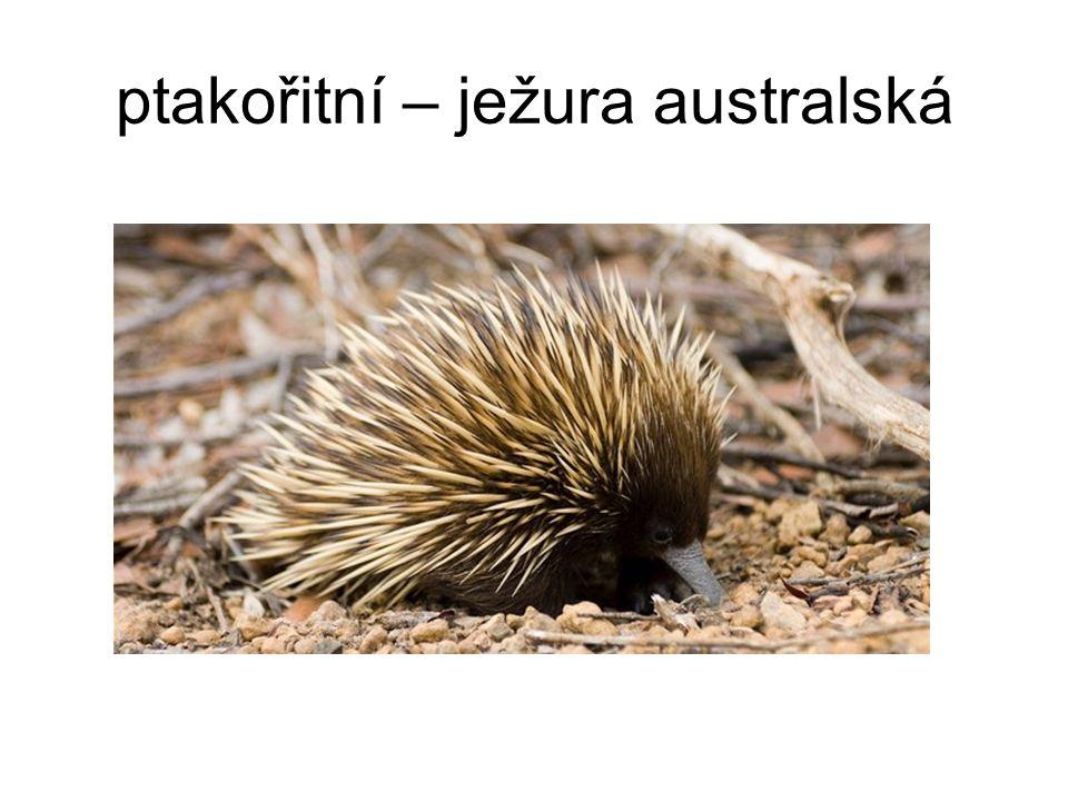 ptakořitní – ježura australská