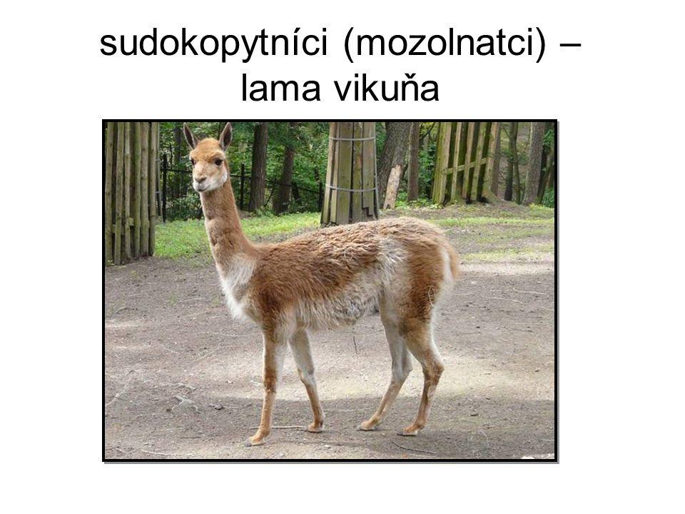 sudokopytníci (mozolnatci) – lama vikuňa