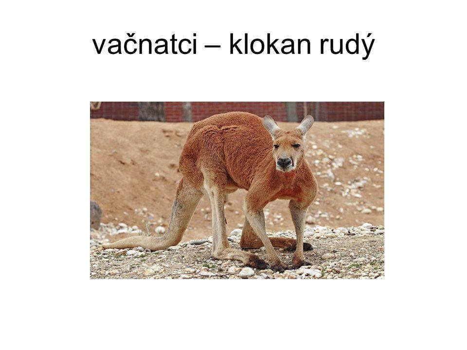 vačnatci – klokan rudý