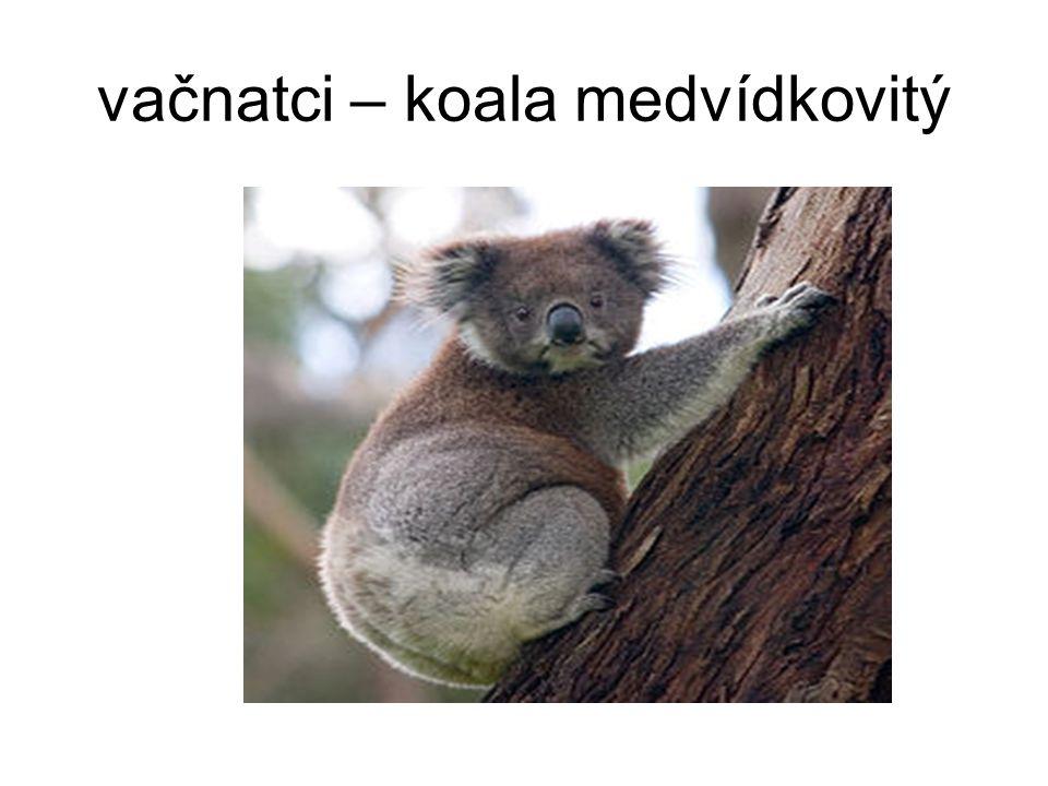 vačnatci – koala medvídkovitý