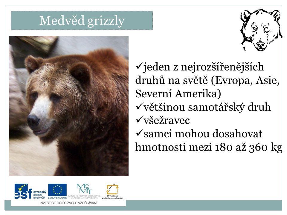 Medvěd grizzly jeden z nejrozšířenějších druhů na světě (Evropa, Asie, Severní Amerika) většinou samotářský druh.