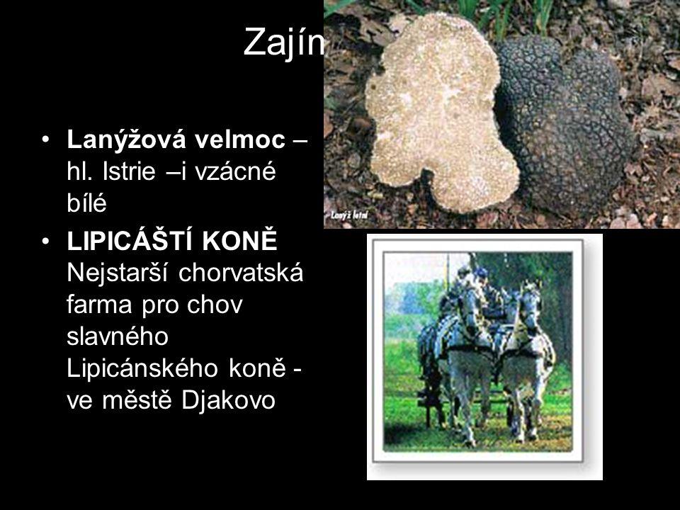 Zajímavosti Lanýžová velmoc –hl. Istrie –i vzácné bílé