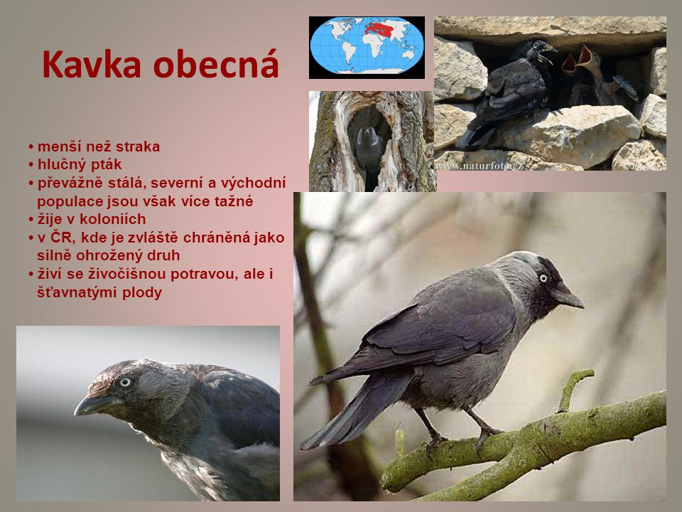 Kavka obecná • menší než straka • hlučný pták