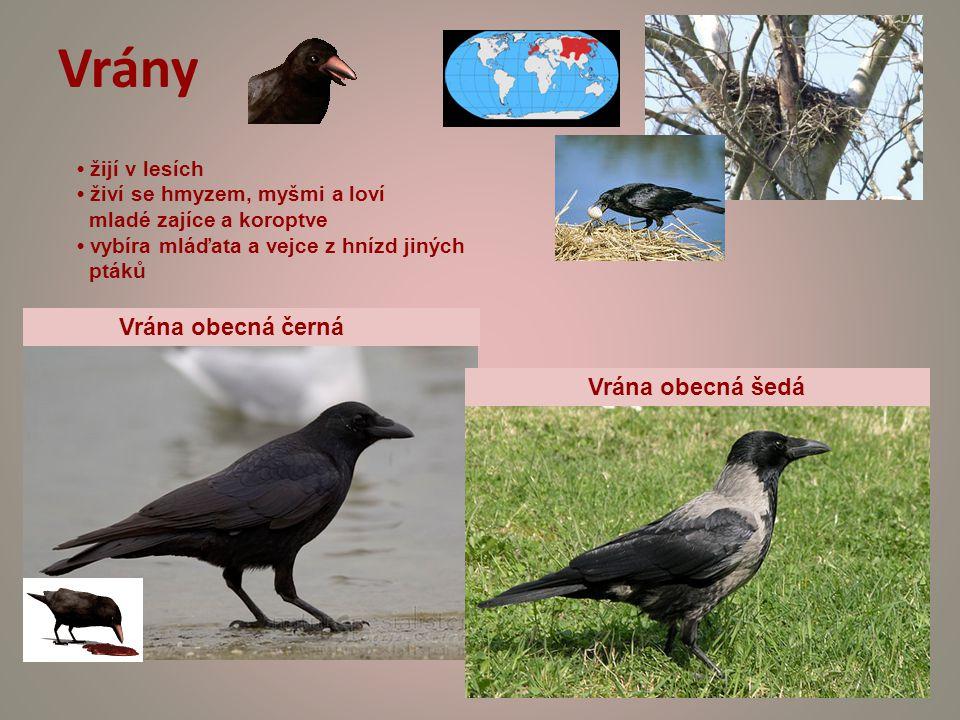 Vrány Vrána obecná černá Vrána obecná šedá • žijí v lesích