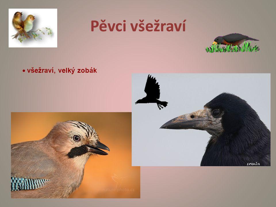 Pěvci všežraví • všežraví, velký zobák