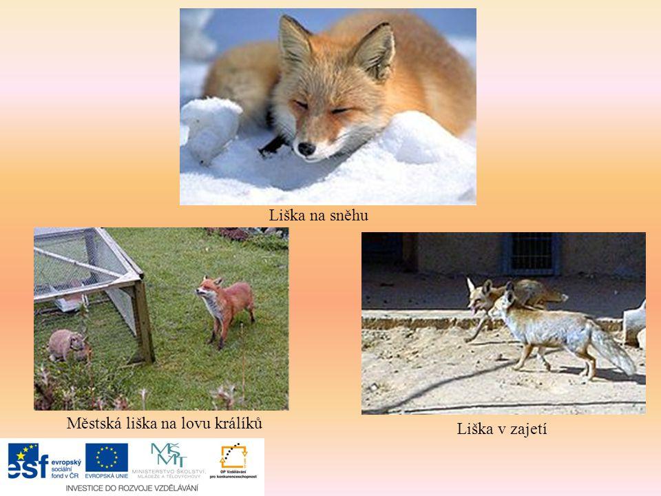 Liška na sněhu Městská liška na lovu králíků Liška v zajetí
