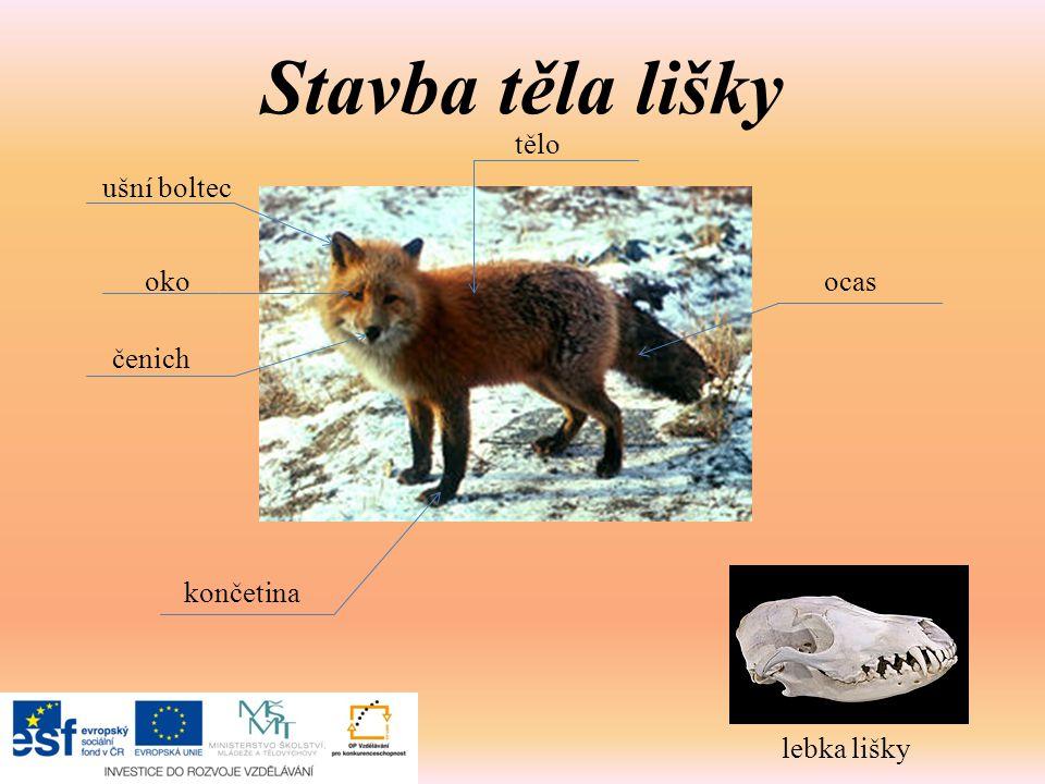 Stavba těla lišky tělo ušní boltec oko ocas čenich končetina