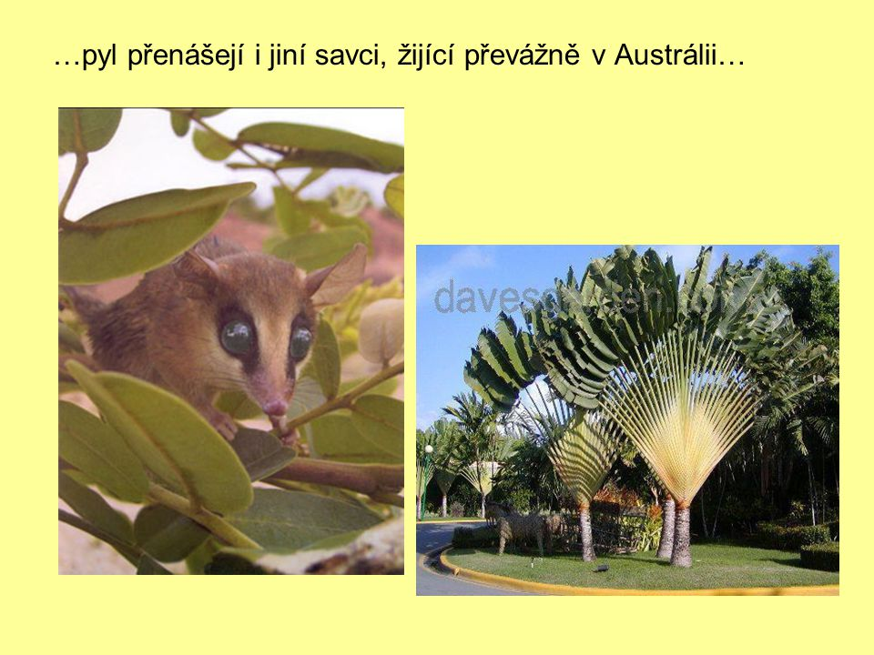 …pyl přenášejí i jiní savci, žijící převážně v Austrálii…